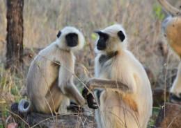 India Wildlife Holidays - Panna - Hanuman langur