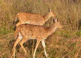 India Wildlife Holidays - Indian Deer