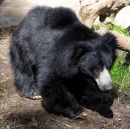 India Wildlife Holidays - Satpura - Sloth Bear