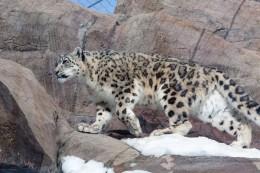 India Wildlife Holidays - Hemis - Snow Leopard