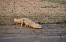 India Wildlife Holidays - Corbett - crocodile
