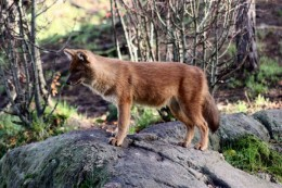 India Wildlife Holidays - Periyar - dhole (Indian wild dog)