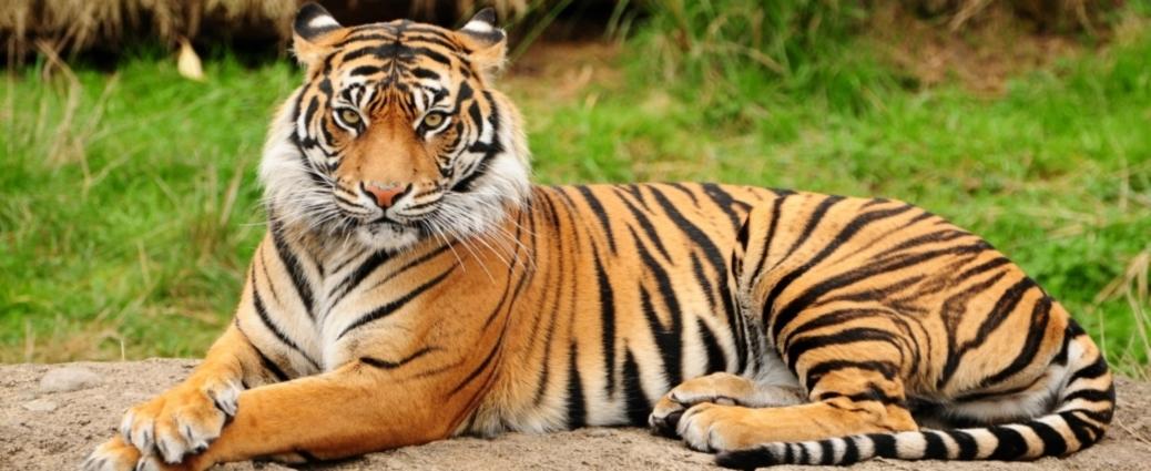 India Wildlife Holidays - Royal Bengal Tiger