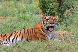 India Wildlife Holidays - Kaziranga - Bengal Tiger