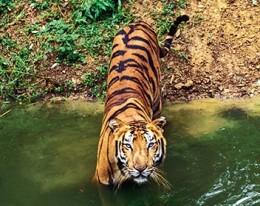 India Wildlife Holidays - Kipling's India - Bengal Tiger
