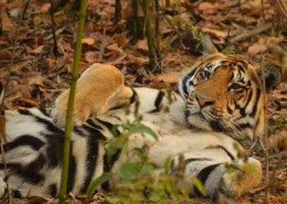 India Wildlife Holidays - Bengal Tiger