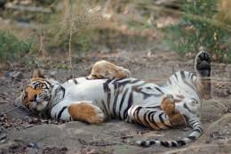 India Wildlife Holidays - Northern Highlights - Royal Bengal Tiger