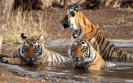 India Wildlife Holidays - tigers-in-water
