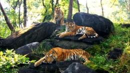 India Wildlife Holidays - Bengal tigers
